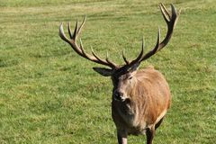 Red Deer Stag. Royalty Free Stock Image