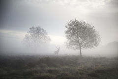 Red deer stag in atmospheric foggy Autumn landscape Royalty Free Stock Images