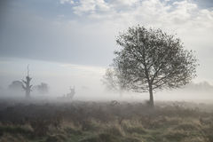 Red deer stag in atmospheric foggy Autumn landscape Royalty Free Stock Photography