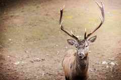 Red deer stag in autumn fall forest Stock Images