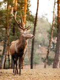 Red deer stag in autumn fall forest Royalty Free Stock Photos