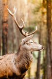 Red deer stag in autumn fall forest Stock Image