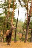 Red deer stag in autumn fall forest Stock Photos