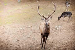 Red deer stag in autumn fall forest Royalty Free Stock Image