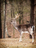 Red deer stag in autumn fall forest Royalty Free Stock Photo