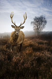 Red deer stag in Autumn Fall misty landscape Royalty Free Stock Photography