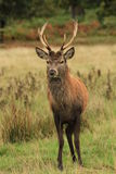 Red deer stag in autumn rain Royalty Free Stock Photography