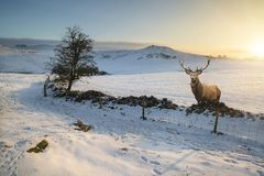 Red deer stag in beautiful Snow covered Winter landscape at sunr. Red deer stag in Snow covered Winter landscape at sunrise Stock Images