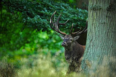 Red deer stag, bellow majestic powerful adult animal outside autumn forest, hidden in the trees, big animal in the nature forest h Stock Images