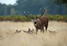 Red Deer stag bellowing among a group of hinds. Red Deer stag bellowing while standing in the field among a group of hinds during rutting season, UK stock images