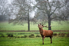 Red Deer Stag Bellowing Stock Images
