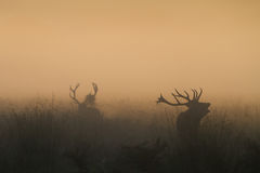 Red Deer Stag Bellowing Royalty Free Stock Photography