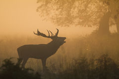 Red Deer Stag Bellowing Stock Photography