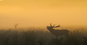 Red Deer Stag Bellowing with Stag in Background Stock Photography