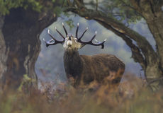 Red Deer Stag bellows between natural frame of vegetation Royalty Free Stock Photography