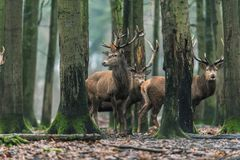 Red deer stag with brown leaf on antler in winter forest. Red deer stag with brown leaf on antler in a winter forest stock photography