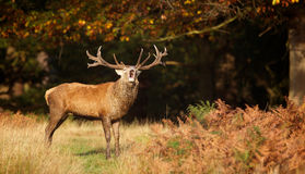 A Red deer stag Royalty Free Stock Image