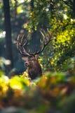 Red deer stag cervus elaphus in autumn foliage of forest. Red deer stag cervus elaphus in an autumn foliage of forest royalty free stock photos