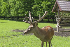 Red deer stag - Cervus Elaphus Royalty Free Stock Image