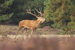 Red deer stag Cervus elaphus chasing female does. Royalty Free Stock Photos