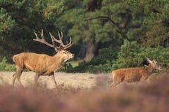 Red deer stag Cervus elaphus chasing female does. Stock Photo