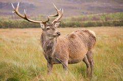 Red Deer Stag (cervus elaphus) in field Stock Photo