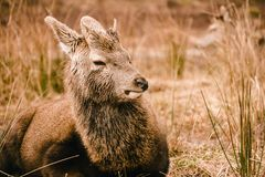 Red deer stag Cervus elaphus lying down in the long grass in Glencoe Scotland Royalty Free Stock Photo