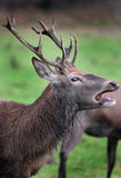 Red Deer Stag. Royalty Free Stock Photography