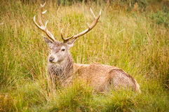 Red Deer Stag (cervus elaphus) resting Stock Photos