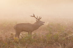 Red Deer stag Cervus elaphus roaring bellowing calling Stock Images