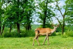 Red deer stag (Cervus elaphus) Stock Photos