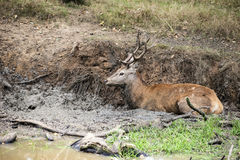 Red deer stag cervus elaphus takes a mudbath to cool down on Aut Royalty Free Stock Photo