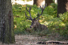 Red deer stag cervus elaphus taking a breather during rut season Royalty Free Stock Photography