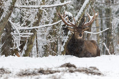 Red Deer Stag Cervus elaphus in Winter Snow. Adult noble deer with large horns covered with snow, resting on snow Stock Photo