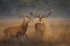 Red deer stag chasing a young buck away during rutting season in autumn. Close up of a Red deer stag chasing a young buck away during rutting season in autumn royalty free stock image