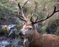 Red deer stag. Close-up of red deer stag in Galloway park, UK Stock Image