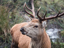 Red deer stag. Close-up of red deer stag in Galloway park, UK Royalty Free Stock Photos