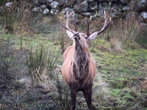 Red deer stag. Close-up of red deer stag in Galloway park, UK Royalty Free Stock Images