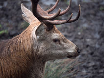 Red deer stag. Close-up of red deer stag in Galloway park, UK Stock Photos