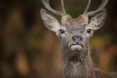 Red Deer Stag Stock Image