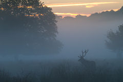 Red Deer Stag in Dawn Mist Stock Photography