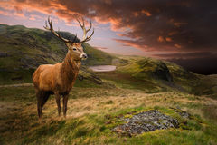 Red deer stag in dramatic mountain landscape. Dramatic sunset with beautiful sky over mountain range giving a strong moody landscape and red deer stag looking Stock Images