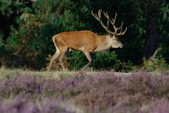 Red deer stag Royalty Free Stock Photos