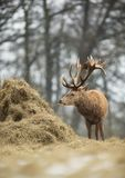 Red deer stag eating hay from haystack in winter. Close up of a Red deer stag eating hay from haystack in winter, UK Royalty Free Stock Photo