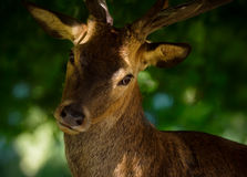 Red Deer Stag Facial Portrait Stock Images