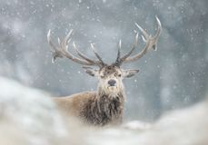 Red deer stag in the falling snow royalty free stock photography