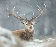 Red deer stag in the falling snow stock image