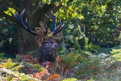 Red Deer Stag In Ferns Wearing Leaves Stock Photography