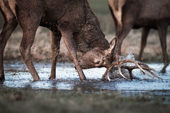 Red Deer Stag Fights Reflection In Water Stock Photo