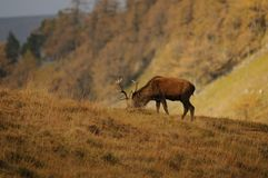 Red Deer Stag Forages for food in Highlands of Scotland. Red Deer Stag head down grazing, foraging for food in the grass covered hillside, partial catchlight eye Stock Images